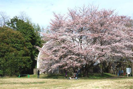 桜で見えません