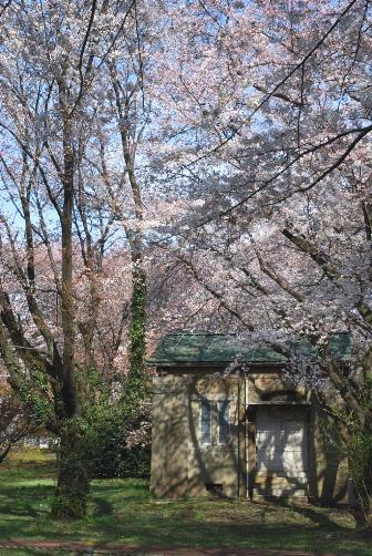 レプソルドと桜