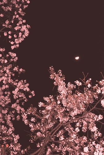 夜桜月夜①