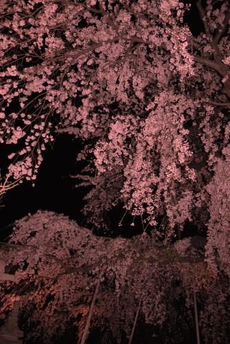 夜桜月夜②