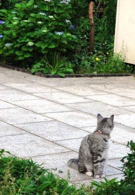 銀猫と紫陽花