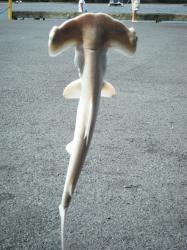 hummer head shark 1242009