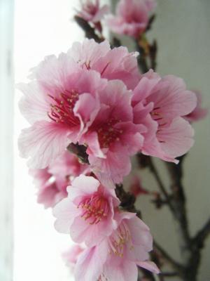 sakura hawaii 2192009-2