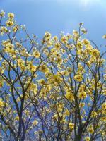 yellow poui 1