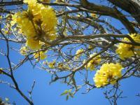 yellow poui2