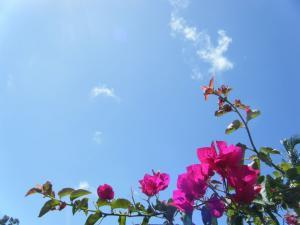 ブーゲンビリアと青空
