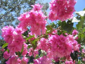 ブーゲンビリア ピンク