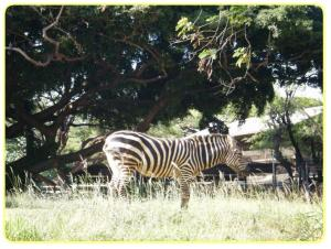 honolulu zoo zebra