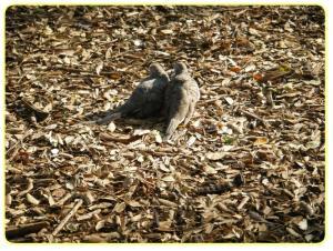 honolulu zoo oshidori