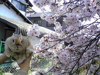s-桜deka2008