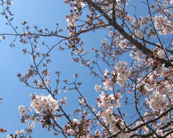 Sakura040711