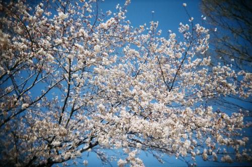 桜2010_2