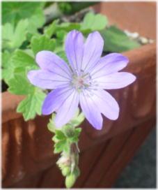Geranium Pyrenaicum 'Isparta'