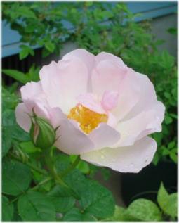 Peach Bloosom