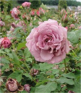 花フェスタDSC01507