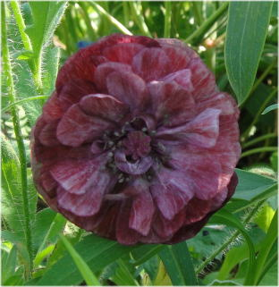 Papaver rhoeas 'Angels Choir Mixed'