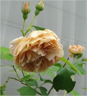 バラ・カフェDSC02346
