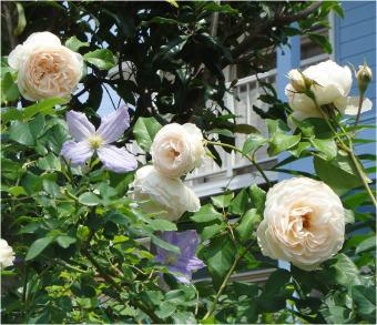 バラとクレマDSC01295