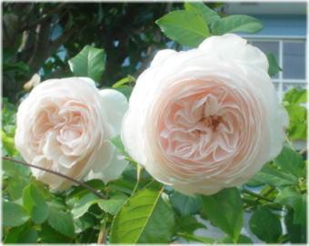 バラ・ローズマリーDSC04839