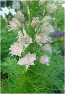 delphinium consolida dwarf hyacinth