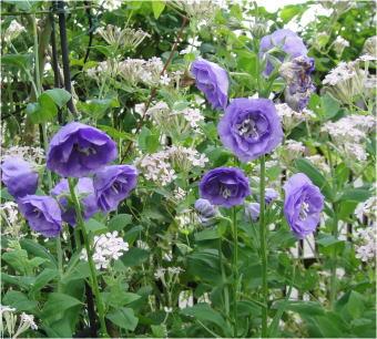 campanula persicifolia double flower