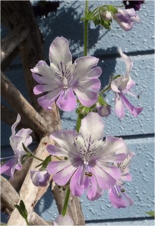 schizanthus pinnatus