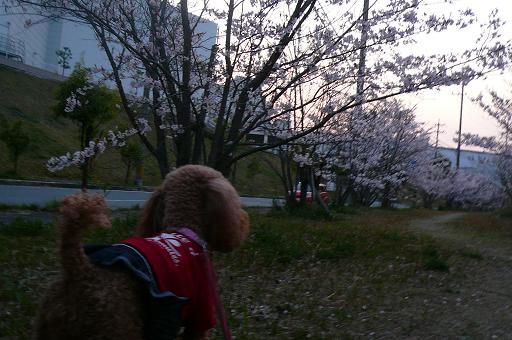 桜のお散歩