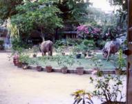 借家の庭と牛