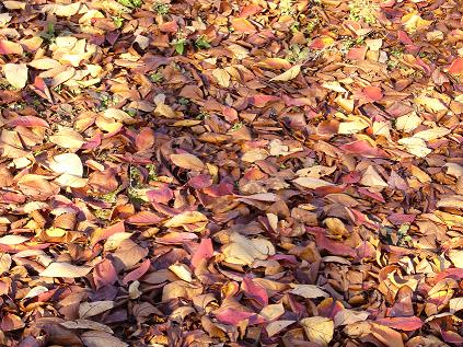 枯葉の絨毯。