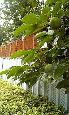 通院の青柿。