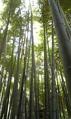鎌倉・竹林