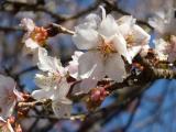 二季咲桜1