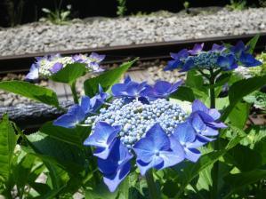 御霊神社・紫陽花と線路