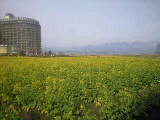 なぎさ公園菜の花withマンション