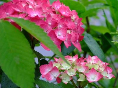 2010_0613ajisai0024.jpg