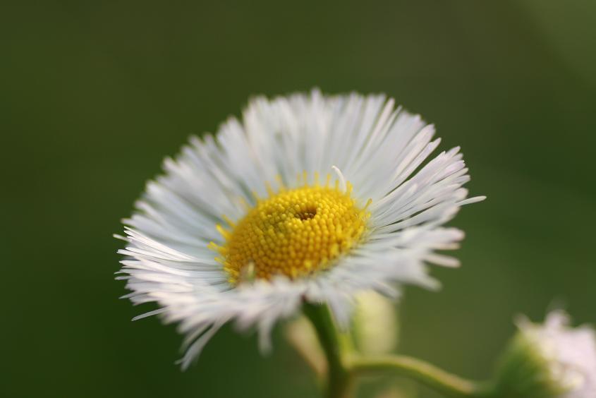 ハルジオン(白)