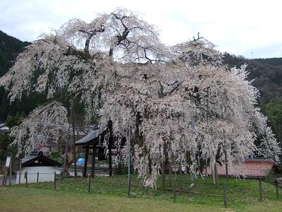 泰雲寺しだれ桜2 400 10.04.10