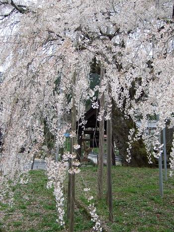 泰雲寺しだれ桜枝2 350 10.04.10