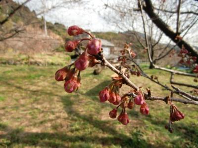 雪割桜つぼみ0225