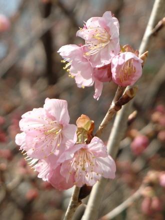 雪割桜花0225