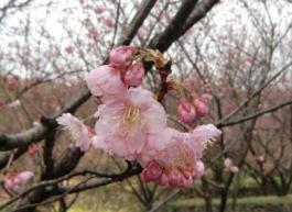 雪割桜0228