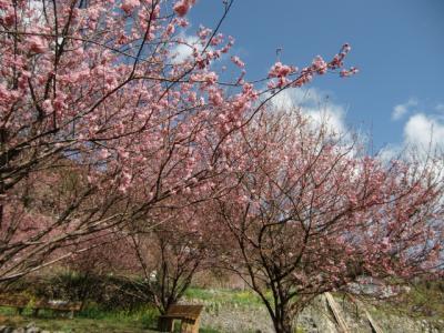 雪割桜五分咲き