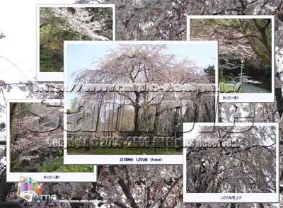 Fukui Sakura Wallpaper