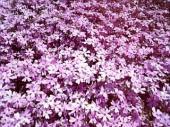 富士芝桜まつり01
