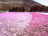 富士芝桜まつり03