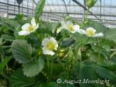 愛らしい白い苺の花も沢山咲いています