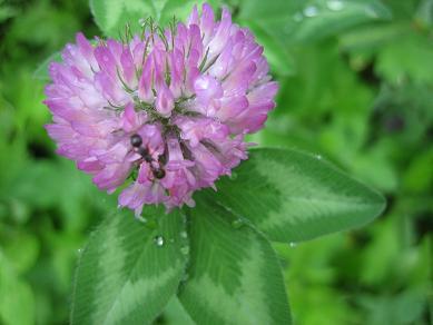 クローバーの花+アリ
