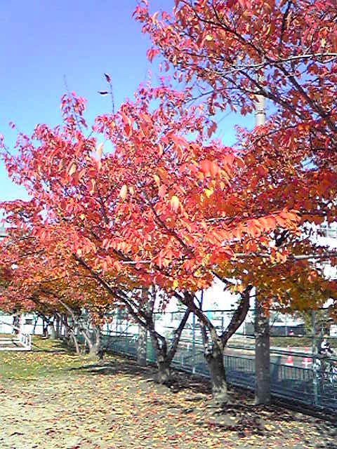 秋・桜の木