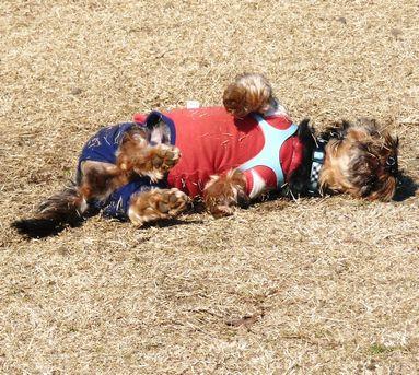 芝まみれ犬1
