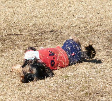 芝まみれ犬2